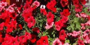 Florile grădinii mele