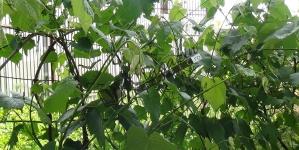 Sichera, vinul de fructe sau cidrul; o băutură a Străbunilor
