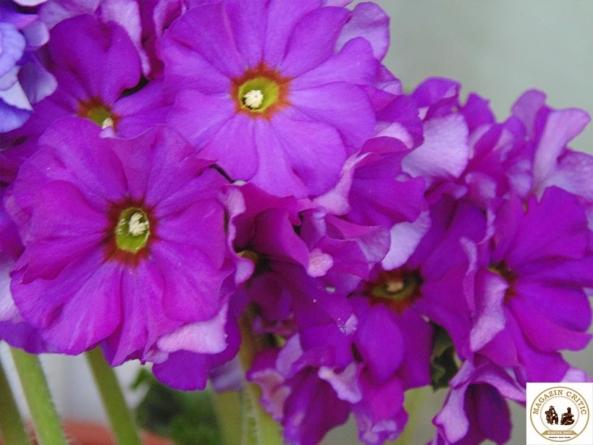 Violetele de Parma şi Violetele Africane