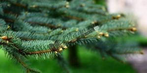 Copacul suveran al iubirii