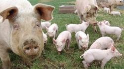 Pesta porcină africană, aproape de România!